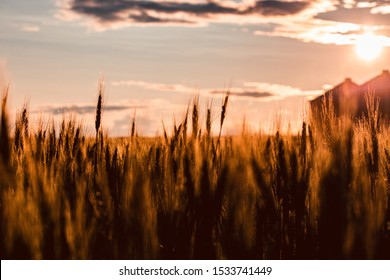 Road trip in central Alberta, Canada: wheat field cat sunset; golden light