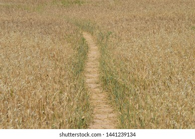 Road in the wheat field