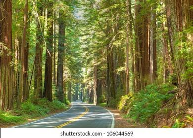 Road winding through Redwood Nat'l. Park.