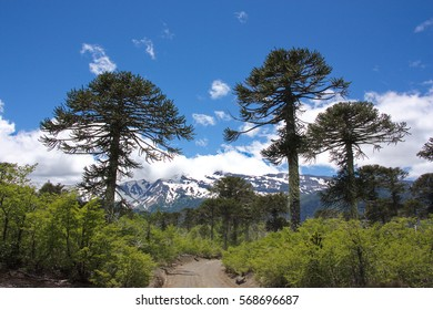 the road in the wood of Araucaria araucana trees in the Conguilli­o National Park in Chile