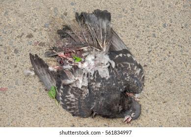 Roadkill pigeon lying on asphalt, crushed by a car