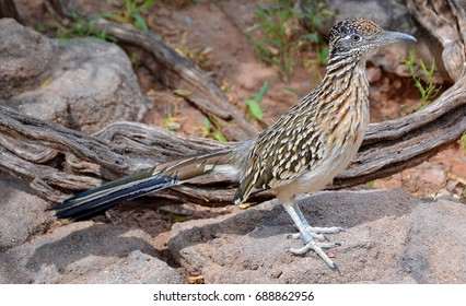 Roadrunner, chaparral bird or chaparral cock, is a fast-running ground cuckoo. It is found in the United States and Mexico usually in the desert. Some have been clocked at 20 miles per hour (32 km/h).