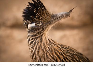 Roadrunner Eye Contact - Arizona - Desert Wildlife