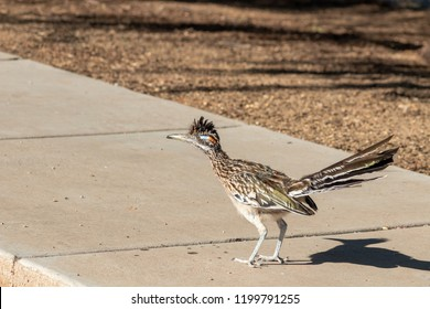 Roadrunner an iconic symbol of the southwest standing on the sidewalk looking like the bird is preparing to start a race. Road runner is a native of the Sonoran desert. Pima County, Tucson, Arizona.