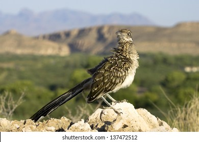 A roadrunner sits atop the scenic overlook on the nature trail at Rio Grande Village, with the Chisos Mountains and the Rio Grande in the background