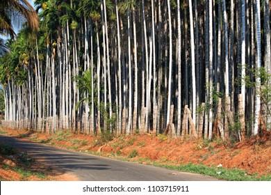Roadside, Areca nut, estate, supari, nut, Coimbatore, india, plant, nature