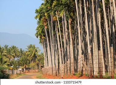 Roadside Areca nut Or Supari Plant Estate Coimbatore In India