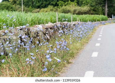 Roadside with Chicory flowers at the island Oland in Sweden