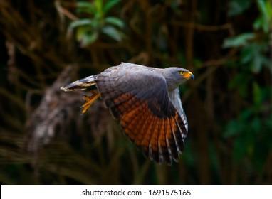 Roadside Hawk (Rupornis magnirostris) in the colombian farm