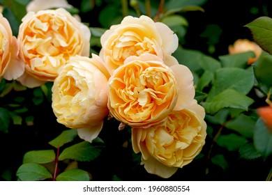 Roald Dahl (Ausowlish). English rose bred by David Austin