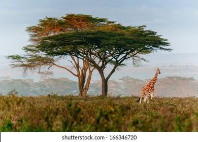 roaming giraffe