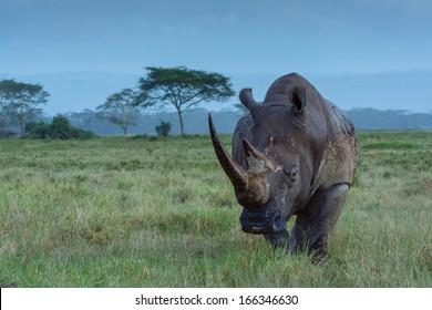 roaming rhino