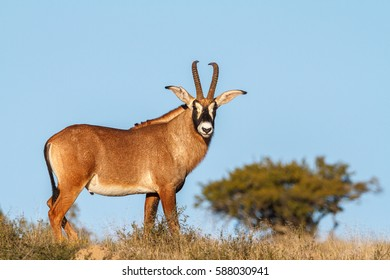 A roan antelope
