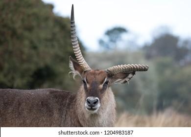 Roan antelope with broken antler. Photographed at Port Lympne Safari Park near Ashford Kent UK.