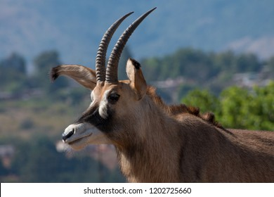 Roan antelope at Mlilwane Wildlife Sanctuary in the Ezulwini Valley, Eswatini (Swaziland)