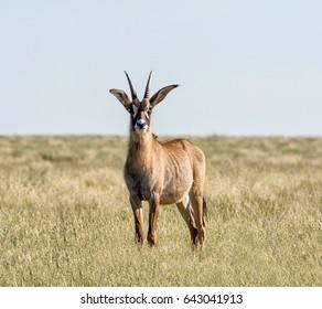 Roan antelope in Southern African savanna