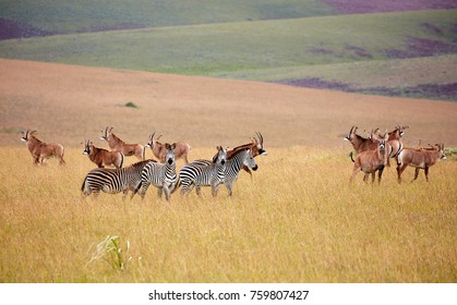 Roan Antilope and zebra at Nyika plateau, Malawi, Africa