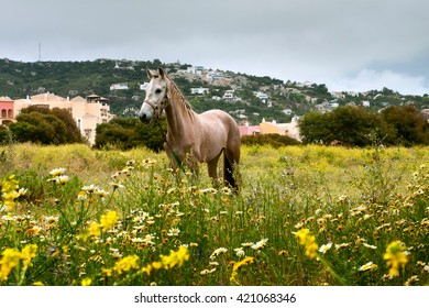 Roan in the field. A horse stands in a field on a leash. Around the yellow flowers behind the houses. In the sky gray clouds