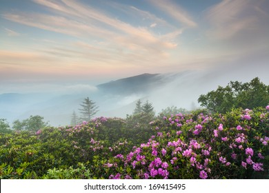 Roan Highlands Southern Appalachian Mountain Natural Catawba Rhododendron Bloom on the State Borders of North Carolina and Tennessee