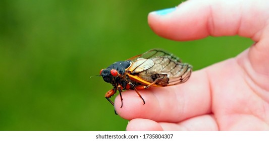 Roanoke, Virginia / USA - May 18, 2020:  Cicadas newly emerged from their exoskeletons in a front yard in Roanoke, Virginia.