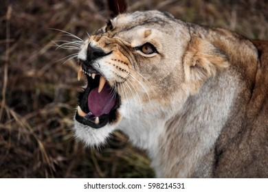 roar of a lioness. Portrait of a lioness. Close-up African lioness (Panthera leo)