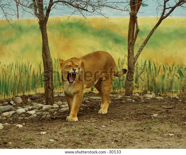 Roar! Yawn! A lion at the local Syracuse zoo.