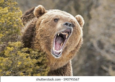 Roaring Grizzly Bear behind bush