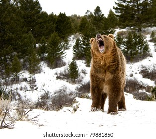 Roaring grizzly on winter hill