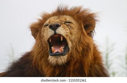 roaring lion images stock photos vectors shutterstock