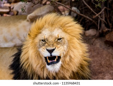 a roaring lion showing his teeth to the tourists