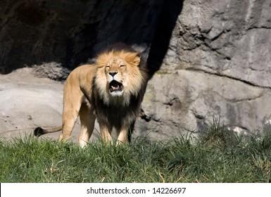 Roaring male African lion
