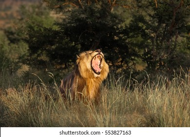 Roaring male lion in golden morning light, Kruger National Park, South Africa