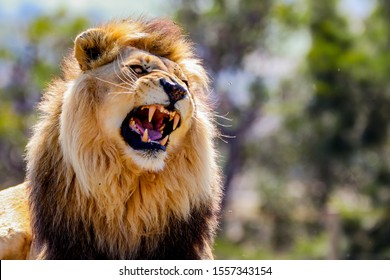 Roaring Male Lion with impressive Mane