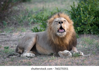 Roaring male lion, Kruger National Park, South Africa
