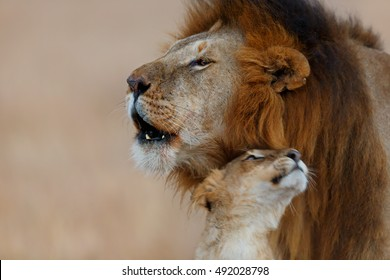 Roaring Rongai Lion with young Lioness in Masai Mara, Kenya