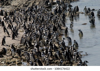 Robben Island, South Africa - March 24, 2006: African Penguins are photographed in large penguin colonies on Robben Island.