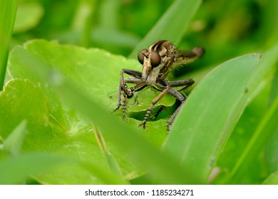 Robber flies catch damselfly as prey, perched on a leaf to start consuming damselfly