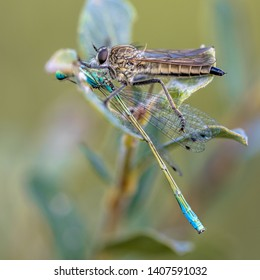 Robber fly or assasin fly (Asilidae) with blue-tailed damselfly (Ischnura elegans) prey