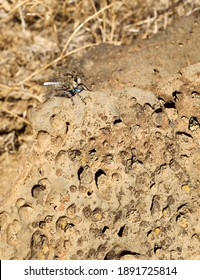 A Robber Fly is eating a blue Damsel Fly on a rock in a Northern California desert.