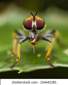 Robber fly eats tint beetle
