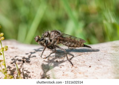 Robber fly (Erax barbatus), female with prey, Hesse, Germany