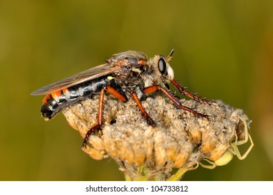robber fly outdoor