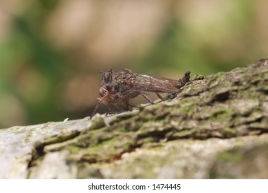 A robber fly sucking on prey