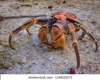 The Robber/Coconut Crab is the world's largest land-living arthropod here seen scavenging rice on Christmas Island, Australia