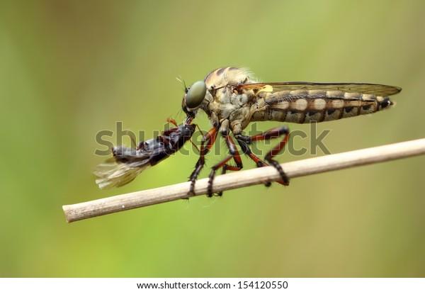 Robberfly With Prey