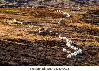 Roberton, Hawick, Scottish Borders, UK. 1st January 2019. A flock of sheep wind a path through the heather clad Hawick hills at Hummel Side and Lamb Knowe.