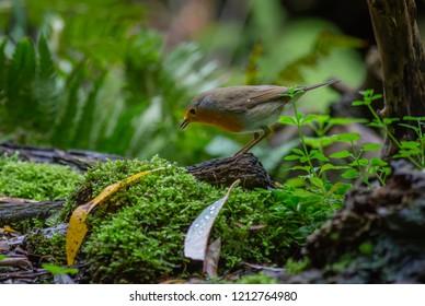 Robin Bird Autumn forest