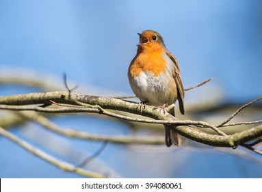 Robin Bird Chirping and Singing