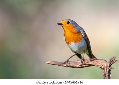 a robin bird Erithacus rubecula with copy space
