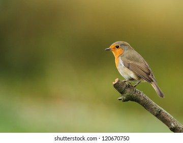 a robin bird Erithacus rubecula looking left on a perch with clean background